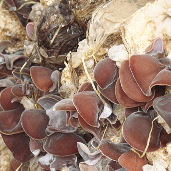 木耳食用菌