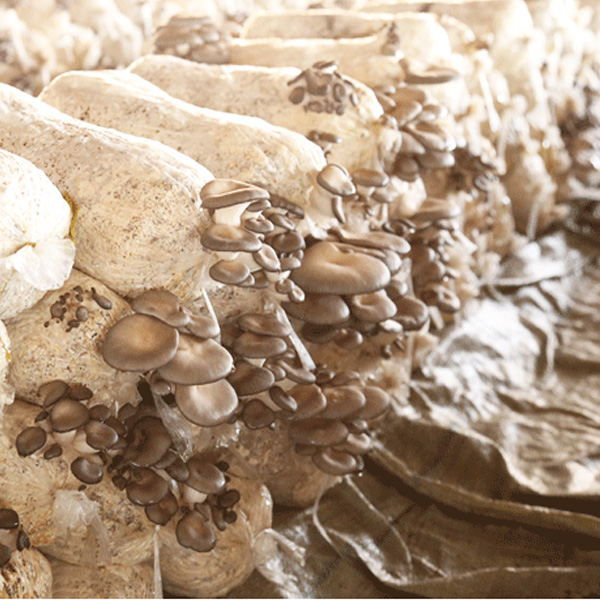 平菇菌包菌棒