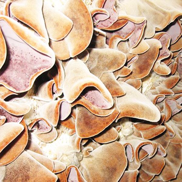 木耳菌包菌棒