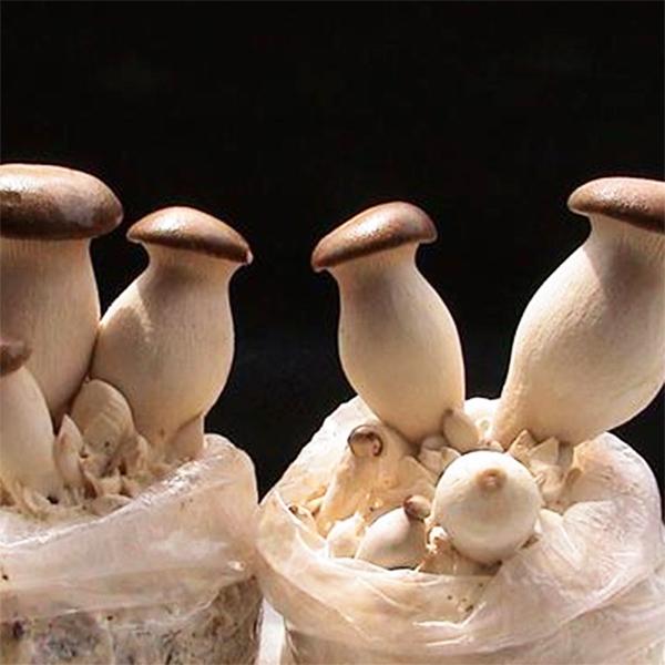 杏鲍菇菌包菌棒