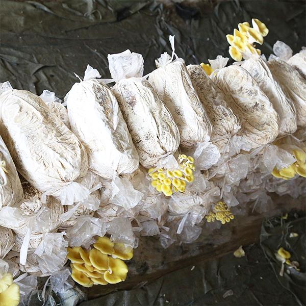 榆黄菇菌包菌棒