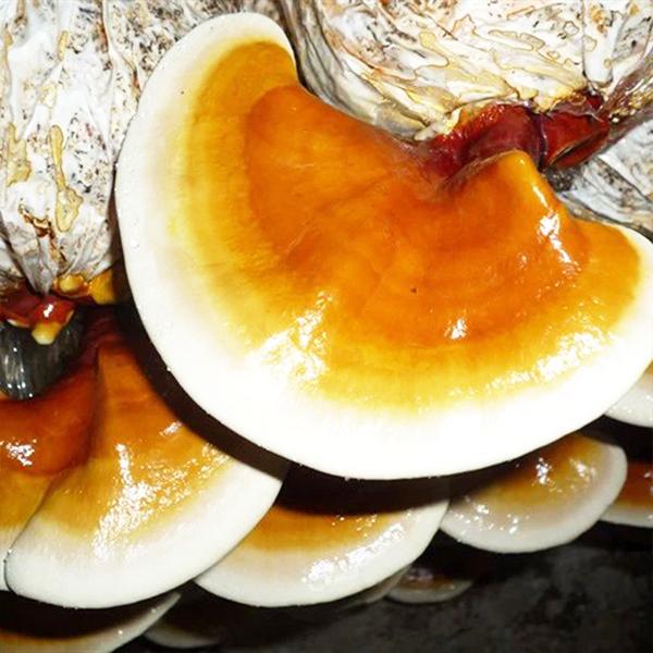 灵芝菌包菌棒
