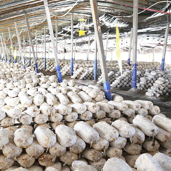 猴头菇菌包菌棒